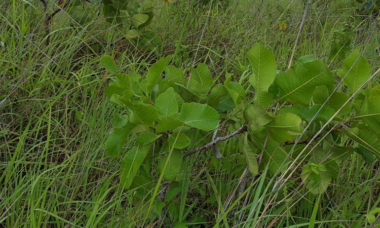 Panama Finca vegetacion
